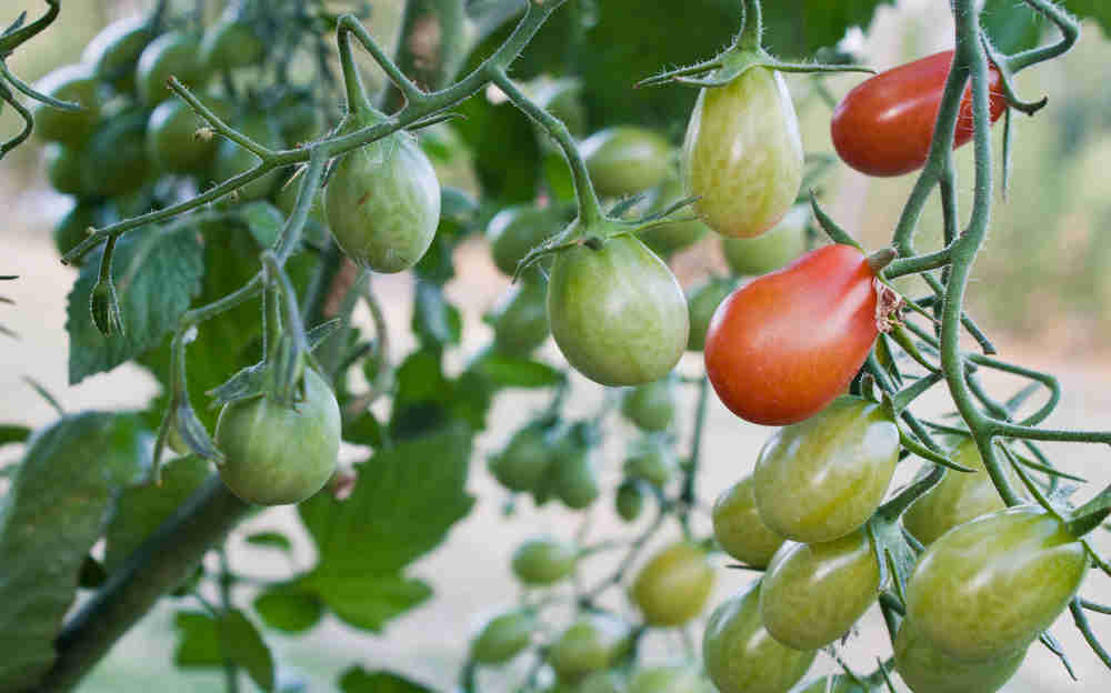 tomatoes nightshades